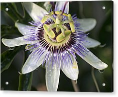 Passionflower Acrylic Print by Richard Thomas