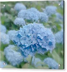 Pastel Blue Hydrangea Acrylic Print by Kim Hojnacki