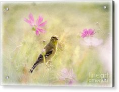 Pastel Finch In Oil Acrylic Print by Cris Hayes