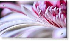 Pastel Gerbera Acrylic Print by Adam Romanowicz
