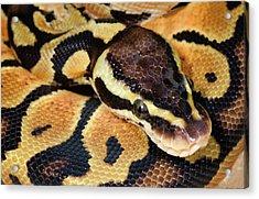Pastel Royal Python Acrylic Print