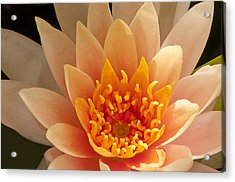 Pastel Waterlily Acrylic Print by Phyllis Peterson