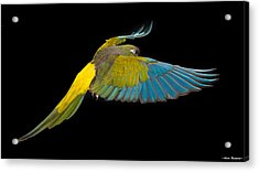 Patagonian Conure In Flight 2 Acrylic Print