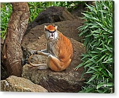 Acrylic Print featuring the photograph Patas Monkey by Kate Brown