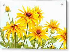 Patch Of Black-eyed Susan Acrylic Print