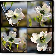 Patched Together Dogwoods Acrylic Print