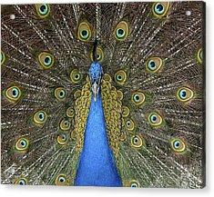 Patient Peacock Acrylic Print
