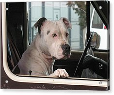 Patient Rose Pit Bull Dog Portrait In Evanston Wyoming Acrylic Print