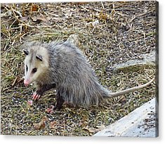 Pawing Possum Acrylic Print