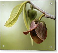 Pawpaw - Spring Delight Acrylic Print