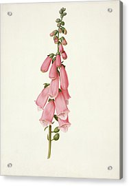 Foxglove Acrylic Print by Pieter Withoos