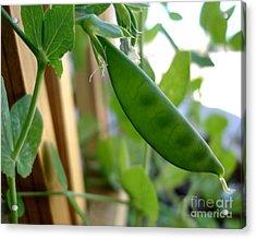Pea Pod Growing Acrylic Print