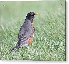 Acrylic Print featuring the photograph Peaceful Robin by Anita Oakley