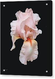 Peach Bearded Iris Acrylic Print
