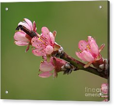 Peach Blossoms II Acrylic Print