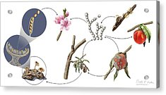 Peach Brown Rot Life-cycle Acrylic Print by Nicolle R. Fuller/science Photo Library