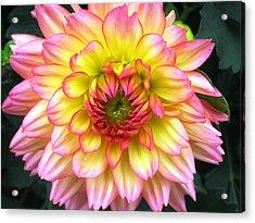 Peach Dahlia Acrylic Print by Will Boutin Photos