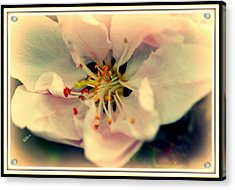 Acrylic Print featuring the photograph Peach Flower by Karen Kersey