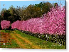 Acrylic Print featuring the photograph Peach Orchard In Carolina by Lydia Holly