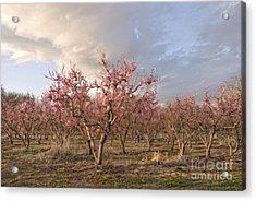 Peach Orchard Acrylic Print