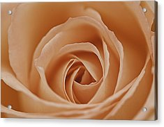 Peach Rose Acrylic Print by Lesley Rigg