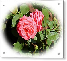 Peach Rose Acrylic Print by Victoria Sheldon