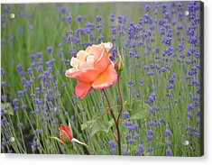 Peach Roses In A Lavender Field Of Flowers Acrylic Print