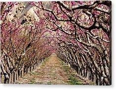 Peach Tree Tunnel Acrylic Print by John McArthur