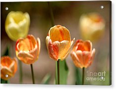 Peaches And Cream Acrylic Print by Living Color Photography Lorraine Lynch