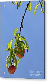 Peaches Hanging From Tree Acrylic Print by Sami Sarkis