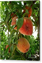 Acrylic Print featuring the photograph Peaches On The Tree by Kerri Mortenson