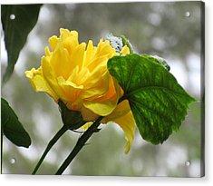 Peachy Yellow Surprise Acrylic Print