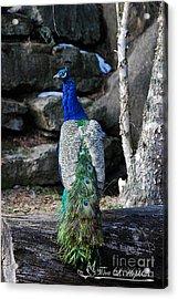 Peacock 20130107_157a Acrylic Print