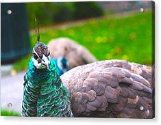 Peacock 3 Acrylic Print by Izabela Bienko