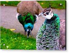 Peacock 4 Acrylic Print by Izabela Bienko