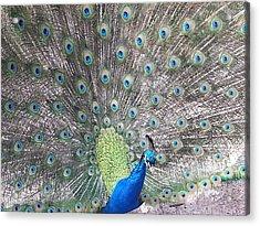 Acrylic Print featuring the photograph Peacock Bow by Caryl J Bohn