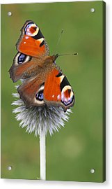Peacock Butterfly Netherlands Acrylic Print