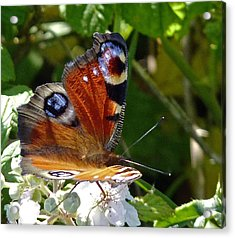 Peacock Butterfly Acrylic Print