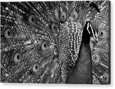 Acrylic Print featuring the photograph Peacock Bw by Ron White