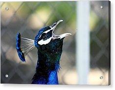 Peacock Calling Acrylic Print