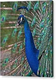 Peacock Display Acrylic Print by Susan Candelario
