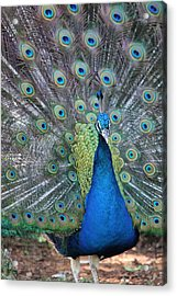 Acrylic Print featuring the photograph Peacock by Elizabeth Budd