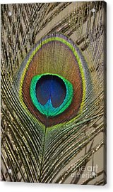 Peacock Feather Acrylic Print