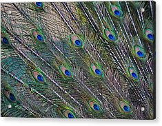 Peacock Feathers Abstract Acrylic Print by Eti Reid