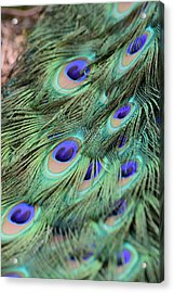 Peacock Feathers Acrylic Print by T C Brown