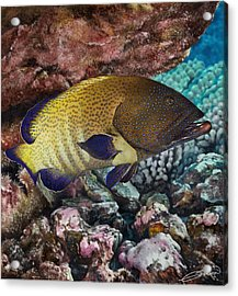 Peacock Grouper Acrylic Print by Owen Bell