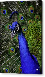 Peacock Head And Tail Acrylic Print by LeeAnn McLaneGoetz McLaneGoetzStudioLLCcom