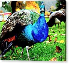 Peacock Acrylic Print by Izabela Bienko