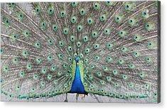 Acrylic Print featuring the photograph Peacock by John Telfer
