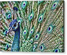 Peacock Acrylic Print by Karen Walzer